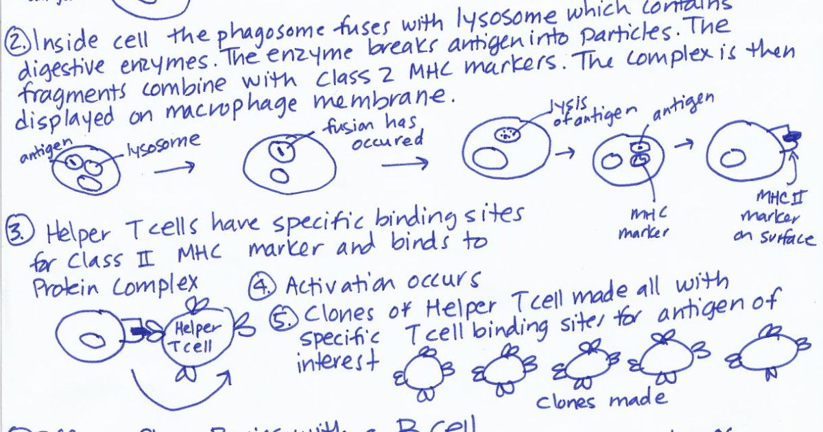 Mary's Biology Page: Diagram of Humoral Immune Response