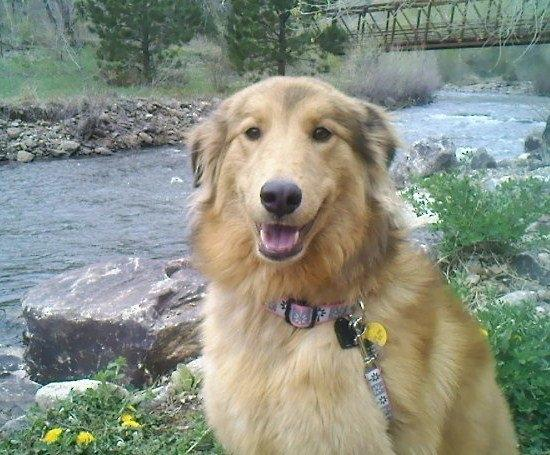 lost dogs found darry golden collie mix
