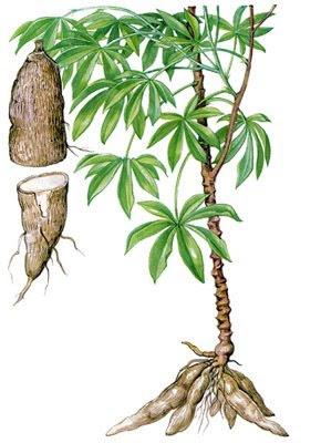 biopact_cassava_biofuels.jpg