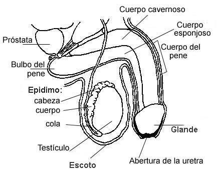síntomas de uretritis hijos de hombres