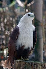 Burung Elang Bondol (Haliastur indus), via blogmhariyanto.blogspot.com