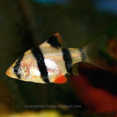 Ornamental Fish Cyprinids Carp Family Cyprinidae Ornamental
