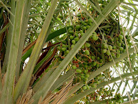 raw dates fruit