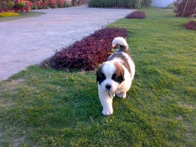 Dogs Wallpapers: Saint Bernard
