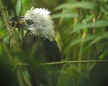 White-crested Hornbill, Ghana Feb 2010