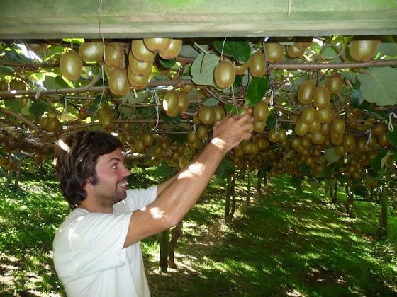 Aquí estoy haciendo el picking kiwi (juntar kiwi)