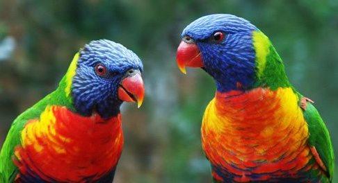Pájaros australianos