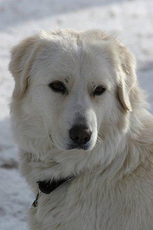 maremma, shepherd dog