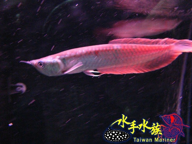【黑帶】黑帶龍魚 – TouPeenSeen部落格