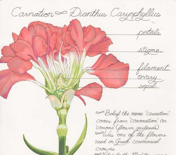 Carnation Anatomy Diagram Nice Place To Get Wiring Diagram