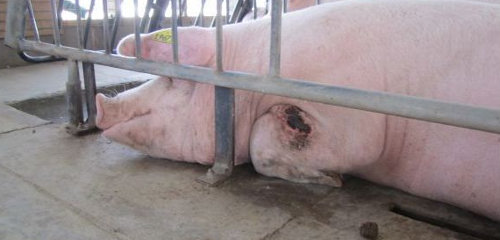 World S Largest Pork Producer Has Record Profits But Fails