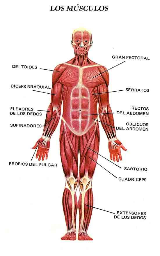 Imagenes Del Sistema Muscular Del Cuerpo Humano Y Sus Partes