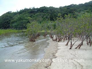 Yakushima mangroves