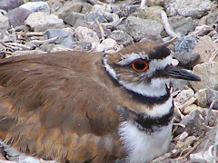 Killdeer on Nest at San Joaquin Wildlife Sanctuary