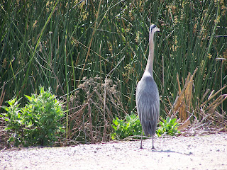 Great Blue Heron walking at San Joaquin Wildlife Sanctuary in Irvine