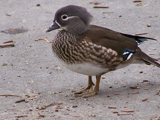 Female Wood Duck? Or Female Mandarin Duck?