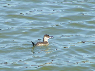 Female Ruddy Duck at San Joaquin Wildlife Sanctuary