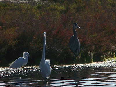 Trio: Snowy Egret, Great Egret, and a Great Blue Heron