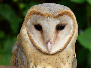 HIRVAL FOUNDATION: Indian Barn Owl conservation