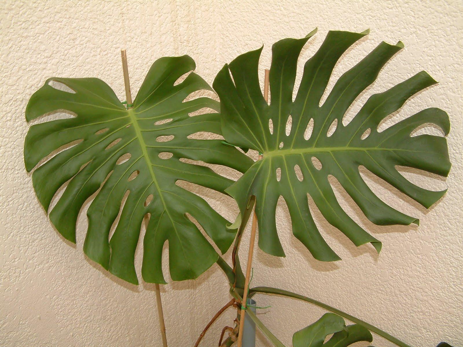 Monstera deliciosa ou costela de ad o plantas de - Plantas resistentes de interior ...