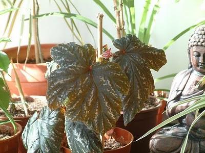 Plantas de interior - Begónia Lana ou Sophie Cecile