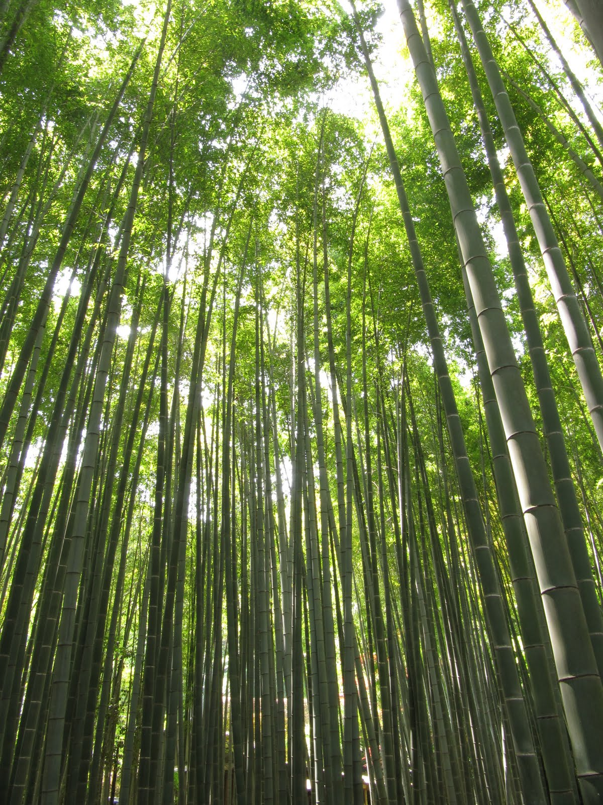 Being Under The Canopy Of A Bamboo Forest Is A Very Unique Experience