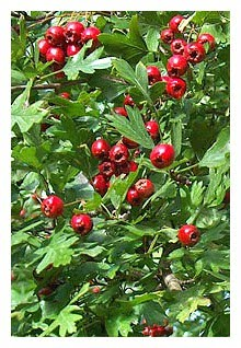 what is hawthorn berry used for