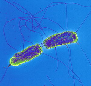 Outbreaks of Salmonella Infections Linked to Backyard Poultry