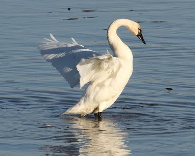 Ecobirder: PhotoFriday: White (Tundra Swans)