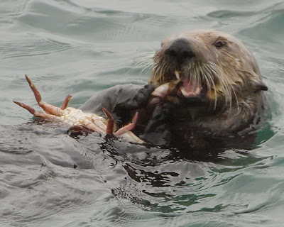 sea otter eating a crab