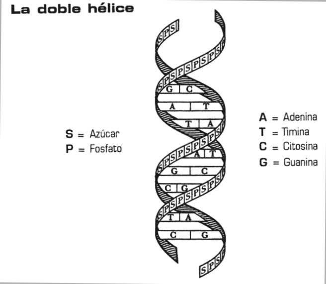 Biología Estructura Del Adn Según Watson Y Crick