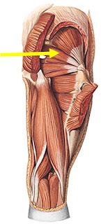 Musculos extremidades inferiores pdf