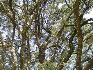 encina quercus rotundifolia en el valle del jerte