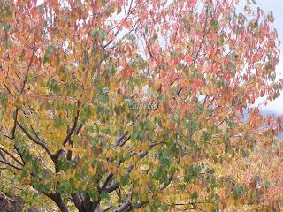 Cerezos en otoño en el valle del jerte