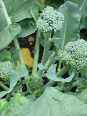 Broccoli recipes in my experience and surprise each broccoli plant had one big head growing at first and once i cut that off first heads several small ones have since mightylinksfo