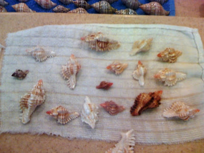 A collection of sea shells found on Sanibel Island; lace murex.