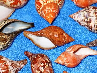 Close up of true tulip sea shells found on Sanibel Island.