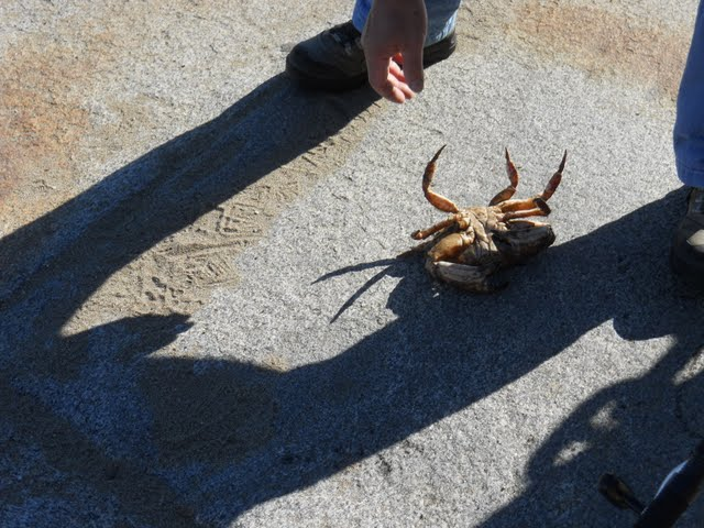 Crab caught by a Fisherman at Fort Point in San Francisco