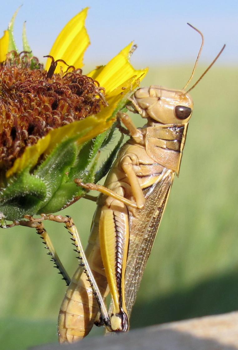 Raised By Wolves: Macro Monday: Prairie Grasshopper