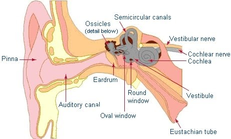 Diagram Of The Oval Window Ear Product Wiring Diagrams