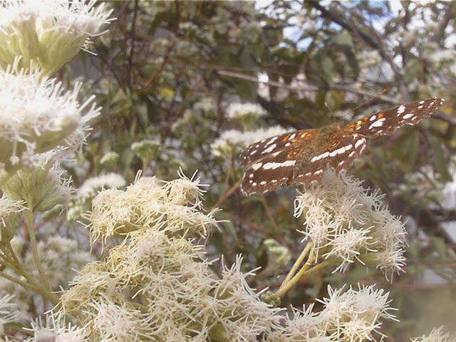 Austroeupatorium inulifolium  Chilca de olor, Mariposera