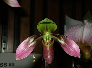 Paph. appletonianum 'Valley Fields hainanense'