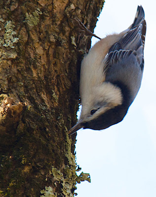 White-breasted Nuthatch walking down a tree