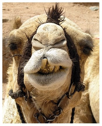Camels: Facts, Types & Pictures