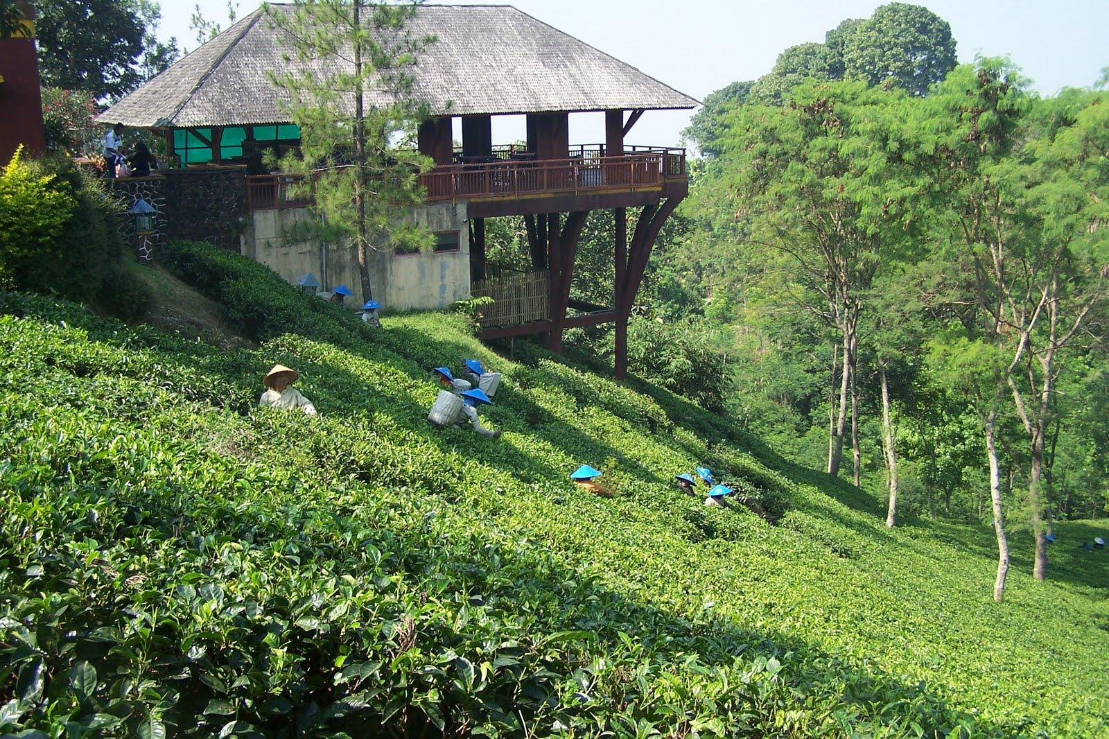 kebun teh agro wonosari