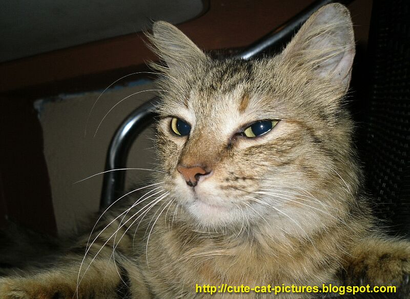 Cute Cat Pictures Tabby Cat Pictures