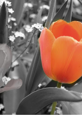 'Orange Tulip' by Tina Scott