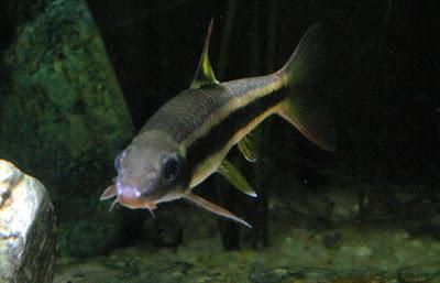 Aquarium gyrinocheilus aymonieri for Pesce pulitore acqua dolce