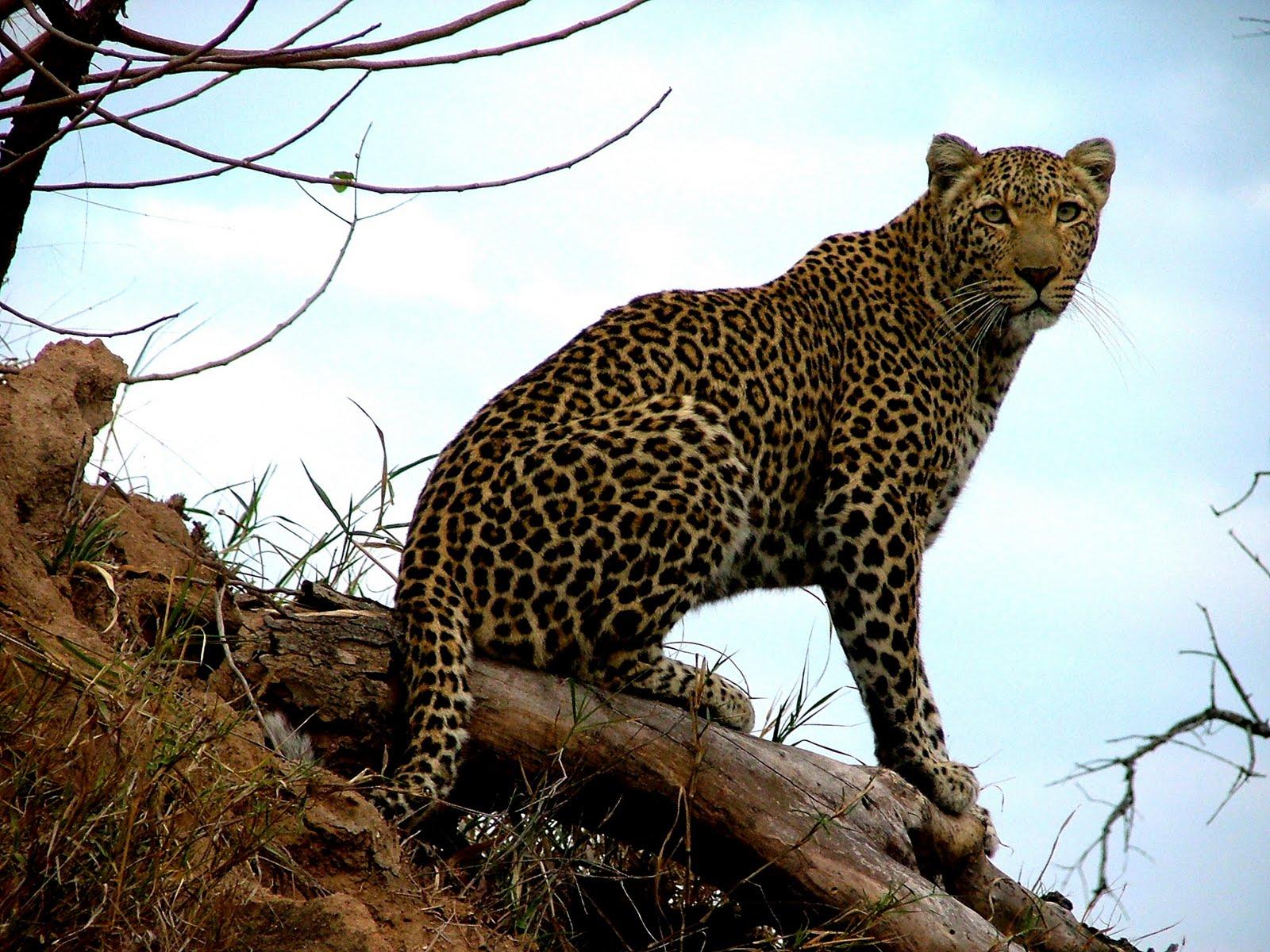 картинки с леопардами пантерами львами пумами отъездом елена