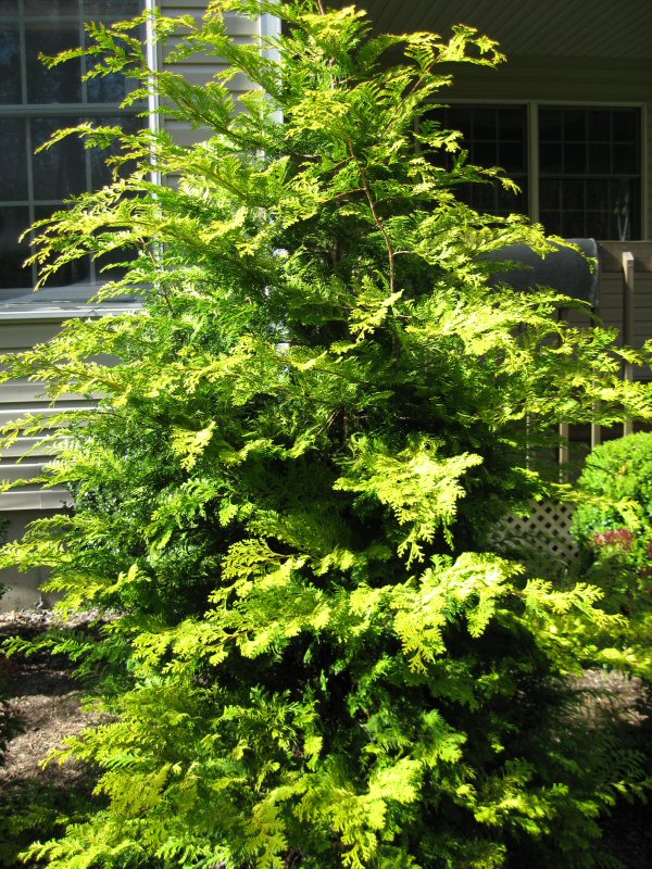 Trouble With Italian Cypress Trees